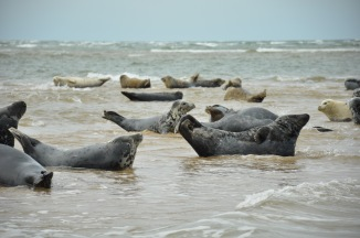 The beautiful seals of Norfolk basking in the sun.